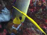 Yellow Trumpetfish, Aulostomus Chinensis, Shadows Blueface Angelfish, Pomacanthus Xanthometopon
