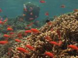Dispar Anthias (Redfin Anthias), Pseudanthias Dispar, Over Hard Coral