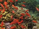 Dispar Anthias (Redfin Anthias), Pseudanthias Dispar, Spawning On Coral Reef