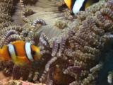 Juvenile Clark's Anemonefish, Amphiprion Clarkii, In Beaded Sea Anemone, Heteractis Aurora