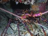 Pronghorn Spiny Lobster, Panulirus Penicillatus