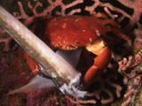 Variable Coral Crab, Carpilius Convexus, Eats Dead Bluespotted Cornetfish (Smooth Flutemouth), Fistularia Commersonii, Killed By Blast Fishing