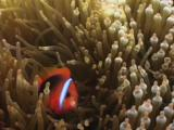 Red And Black Anemonefish (Cinnamon Clownfish), Amphiprion Melanopus, In Bubble-Tip Anemone, Entacmaea Quadricolor