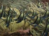 School Of Banggai Cardinalfish, Pterapogon Kauderni, In Long-Tentacle Anemone, Macrodactyla Doreensis