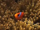 Juvenile Saddle Anemonefish (Red Saddleback Anemonefish), Amphiprion Ephippium, In Bubble-Tip Anemone, Entacmaea Quadricolor