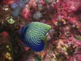 Emperor Angelfish, Pomacanthus Imperator (Sub-Adult), Feeding