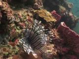 Red Lionfish (Pterois Volitans) Or Devil Firefish (Pterois Miles) And Swallowtail Cardinalfish, Rhabdamia Cypselura
