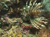 Red Lionfish (Pterois Volitans) Or Devil Firefish (Pterois Miles) Spreads Its Fins And Spines