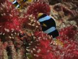 Clark's Anemonefish, Amphiprion Clarkii, In Red Sebae Anemone, Heteractis Crispa