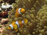 Pair Of Ocellaris Clownfish (Clown Anemonefish), Amphiprion Ocellaris, In Sea Anemone
