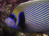 Emperor Angelfish, Pomacanthus Imperator, At Rest At Night