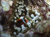 Tomato Clownfish (Tomato Anemonefish), Amphiprion Frenatus,In Bubble-Tip Anemone, Entacmaea Quadricolor