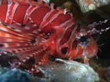 Zebra Lionfish, Dendrochirus Zebra, Resting
