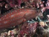 Slender Grouper, Anyperodon Leucogrammicus. Night Coloration