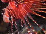 Spotfin Lionfish, Pterois Antennata