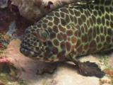 Longfin Grouper, Epinephelus Quoyanus, Looks Nervously At The Camera