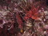 Pair Of Spotfin Lionfish, Pterois Antennata