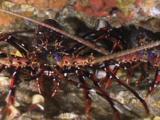 Longlegged Spiny Lobster, Panulirus Longipes, In Underwater Cave