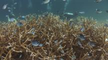 White Belly Damsels, Amblyglyphidodon Leucogaster, In Acropora Formosa Staghorn Coral