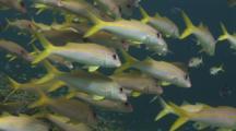 School Of Yellowfin Goatfish, Mulloidichthys Vanicolensis