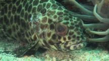 Longfin Grouper, Epinephelus Quoyanus, Resting Next To Sarcophyton Coral