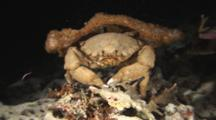 Sponge Crab, Dromia Dormia Or Lauridromia Dehaani, Carrying Sponge