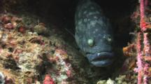 Whitespotted Grouper Hides Under Ledge, Epinephelus Coeruleopunctatus
