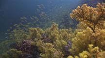 Yellow Gorgonian Sea Fans At Richelieu Rock
