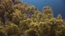 Swimming Over Yellow Gorgonians At Richelieu Rock, Reveal Diver