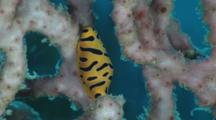 Tiger Egg Cowry, Cuspivolva Tigris, On Gorgonian Sea Fan