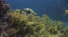 Brown-Marbled Grouper, Epinephelus Fuscoguttatus, And Yellow Gorgonian Sea Fans