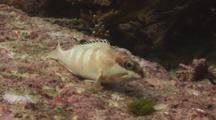 Blacktip Grouper, Epinephelus Fasciatus, Raises Dorsal Fin