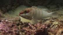 Blacktip Grouper, Epinephelus Fasciatus, Hides Then Retreats
