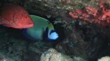 Coral Grouper, Cephalopholis Miniata, And Emperor Angelfish, Pomacanthus Imperator