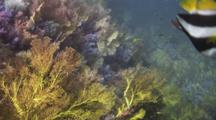 Gorgonian Sea Fans And Soft Corals On Beautiful Reef