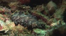 Bedford's Flatworm, Pseudobiceros Bedfordi, Crawling Over Reef