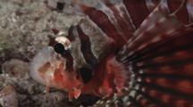Zebra Lionfish, Dendrochirus Zebra. Close Up Of Head