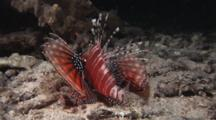 Zebra Lionfish, Dendrochirus Zebra, Flees At Night