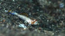 Juvenile Orange-Black Dragonet On Sand, Dactylopus Kuiteri