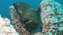 Green Giant Frogfish, Antennarius Commerson, On Pink Branching Tube Sponge