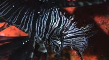 Juvenile Red Lionfish (Common Lionfish), Pterois Volitans, With Abnormal Eye