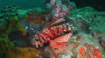 Zebra Lionfish, Dendrochirus Zebra