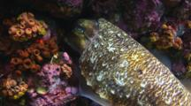 Female Pharaoh Cuttlefish, Sepia Pharaonis, Deposits Fertilised Egg Capsule In Reef