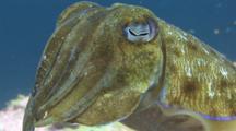 Pharaoh Cuttlefish, Sepia Pharaonis