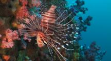 Spotfin Lionfish, Pterois Antennata, Swims Down Coral Reef