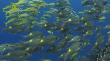 Schools Of Striped Large-Eye Bream, Gnathodentex Aureolineatus, And Yellowfin Goatfish, Mulloidichthys Vanicolensis