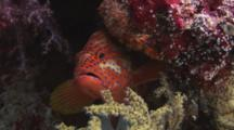 Coral Grouper, Cephalopholis Miniata, Hides In Reef