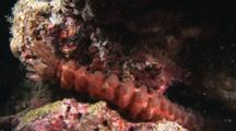 Conspicuous Sea Cucumber, Opheodesoma Spectabilis, At Night