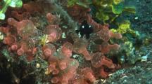 Domino Damsels (Threespot Dascyllus), Dascyllus Trimaculatus, In Bubble-Tip Anemone, Entacmaea Quadricolor