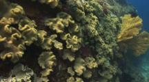 Mushroom Leather Coral, Sarcophyton Trocheliophorum